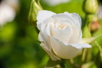 Rose mais blanche